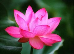 The Lotus - Symbol of Purity and Great Beauty