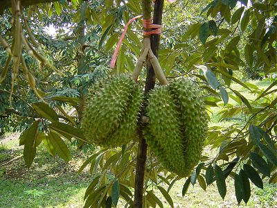 Durian growers asked not to cut fruit early for export