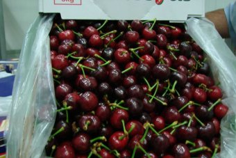 Cherry growers plan to double exports to Asia